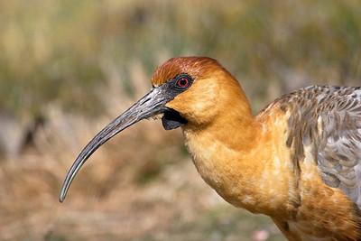 Black-faced Ibis, Theristicus melanopis