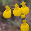 Calceolaria polyrhiza, Fam. Scrophulariaceae