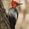 Magellanic Woodpecker, Carpintero Negro (Campephilus magellanicus)