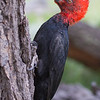 Magellanic Woodpecker (male), Campephilus magellanicus