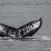 Carlos III Island, Humpback Whales of the Magellan Straits