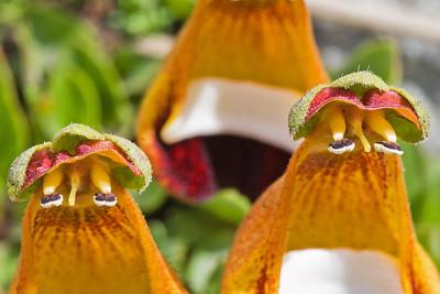 Lady's Slipper, Calceolaria uniflora, Fam. Scrophulariaceae