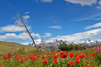 Poppies and the magnificent backdrop of Torres del Paine, Chile