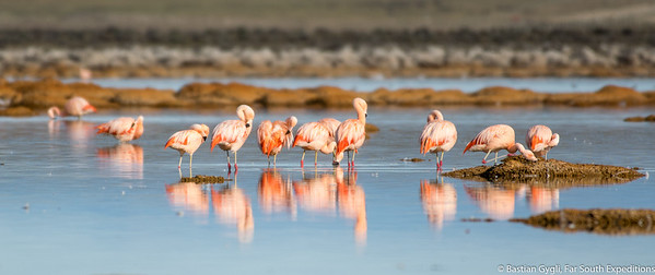 Chilean Flamingo, Flamenco Chileno (Phoenicopterus chilensis)