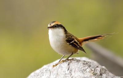 Thorn-tailed Rayadito, Rayadito (Aphrastura spinicauda)