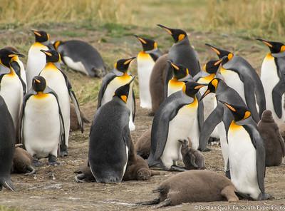 King Penguin, Pingüino Rey (Aptenodytes patagonicus)
