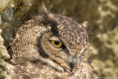 Magellanic Horned Owl, Tucúquere (Bubo magellanicus)