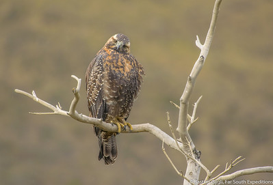 Black-chested Buzzard-Eagle, Águila (Geranoaetus melanoleucus)