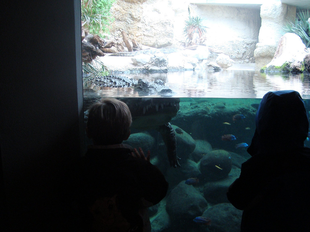 Charlotte, Findlay, Jake, Jack, Danny & I went to the zoo & saw the crocodile out swimming right up to the window - a rare treat