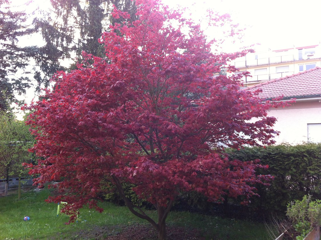 Japanese maple tree in the garden looking stunning