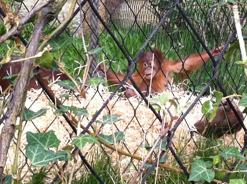 005 Baby Orangutan