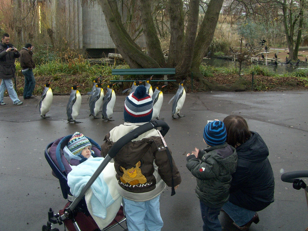 We met up with Tammi & Josh for a wander round the zoo, here are the penguins out for their daily walk