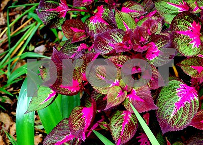 Another gorgeous coleus in a Charleston, SC.