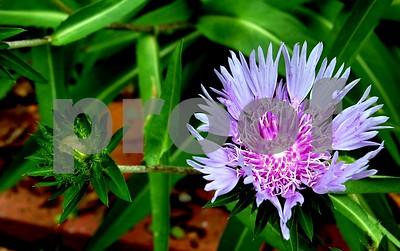 A beautiful purple flower in a Charleston garden