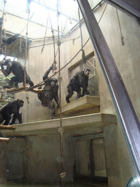 The chimps were getting pretty excited waiting for their food
