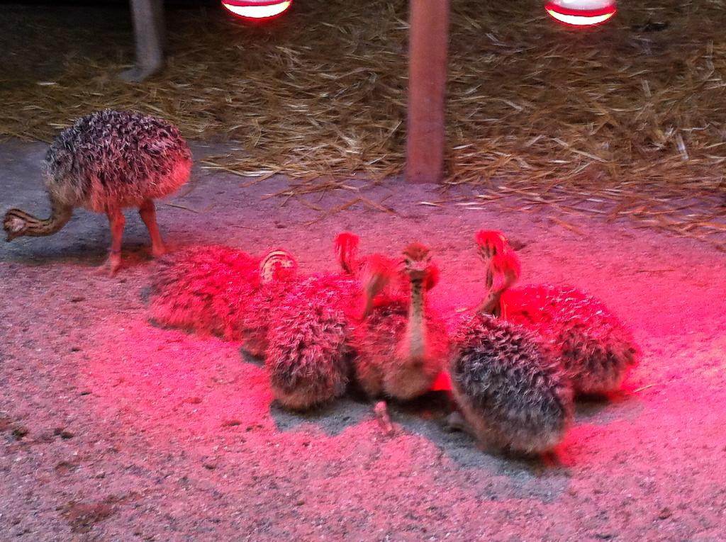 018 Ostrich Babies