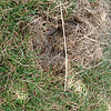 Rabbit's nest in our front yard