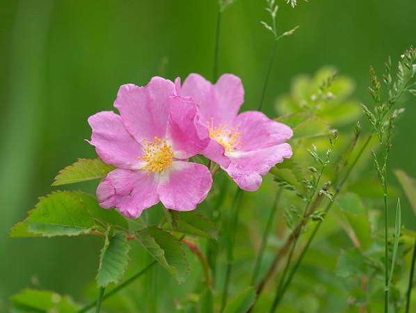 Prairie Roses by Janet