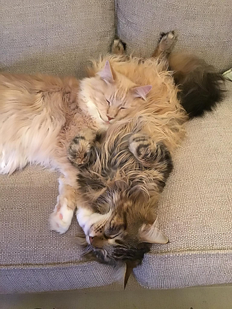 Some of our Maine Coons