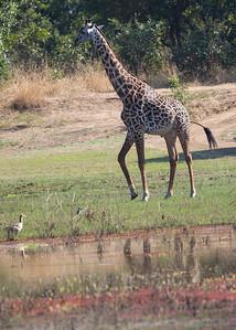 Mfuewe Lodge; South Luangwa National Park; Zambia; Africa; Janice Dahl; Dahl;