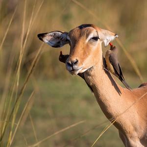 Impala (Aepyceros melampus) having an ear cleaning session by a Redbilled Oxpecker (Buphagus erythrorhynchus)