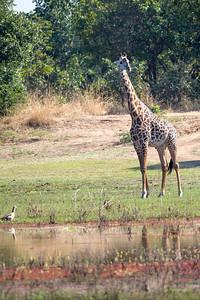 Luangwa Giraffe (Giraffa Camelopardalis thornicrofti)