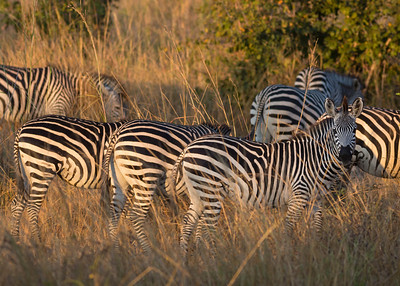 Crawshay's zebra (Equus quagga crawshayi)