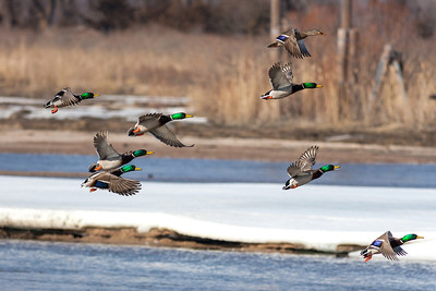 Mallard Ducks, Anas platyrhynchos (Anatidae) along the Platte River outside the Audubon Society's Lillian Annette Rowe Bird Sanctuary (commonly known as Rowe Sanctuary) in Gibbon, Nebraska. RFP 11x16 - Bill Dahl (WMDahl)