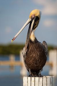 Brown Pelican (Pelecanus occidentalis) taken in the Florida Keys RFP 16x11 - Bill Dahl (WMDahl)