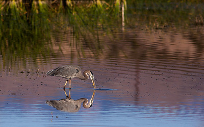 "Great Blue Heron, Ardea herodias (Ardeidae) Taken at the Bosque del Apache National Wildlife Refuge, New Mexico.  The image ""Great Blue Heron, Ardea herodias (Ardeidae) by William M Dahl is licensed under a Creative Commons Attribution-NonCommercial-NoDerivs 3.0 Unported License."