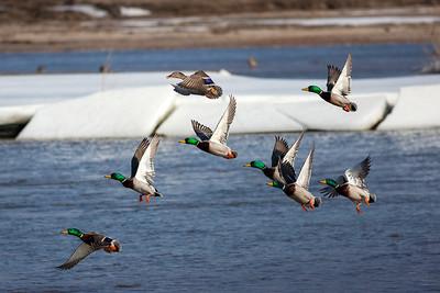 Mallard Ducks, Anas platyrhynchos (Anatidae) stopping over on the Platte River near the Rowe Sanctuary, Gibbon, Nebraska. RFP 10x16 - Bill Dahl (WMDahl)