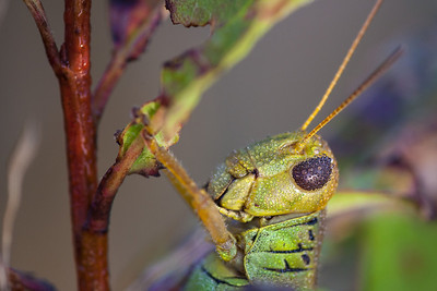 Differential Grasshopper, Melanoplus differentialis (Acrididae),  Insect in Macro