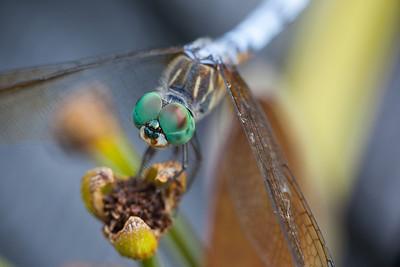 Blue Dasher dragonfly, Pachydiplax longipennis (Libellulidae) taken at the Missouri Botanical Garden, St. Louis, Missouri. RFP 11x17 - Bill Dahl (WMDahl)