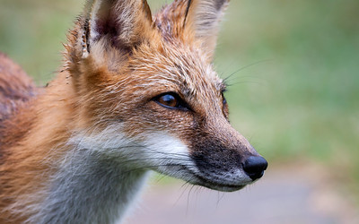 Red Fox, Vulpes vulpes (Canidae)