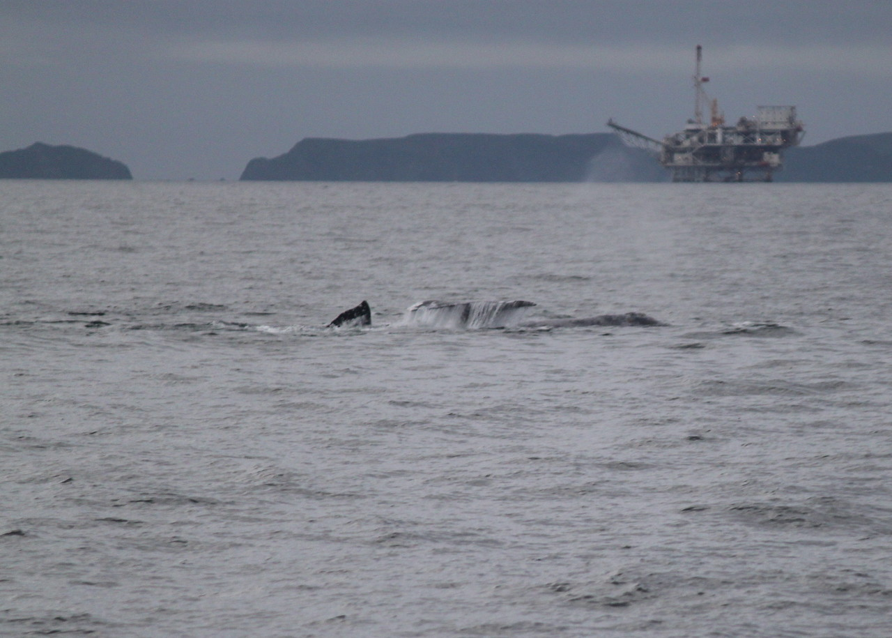 3 grey whales mating