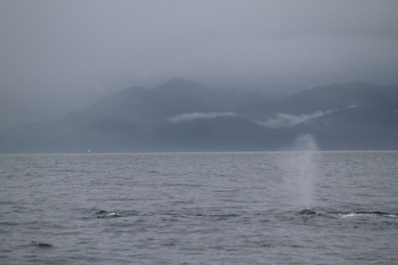 grey whales