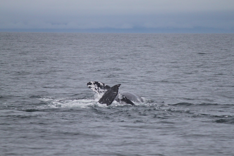 grey whales mating