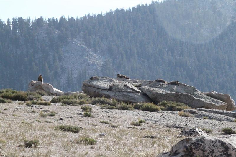 Marmots
