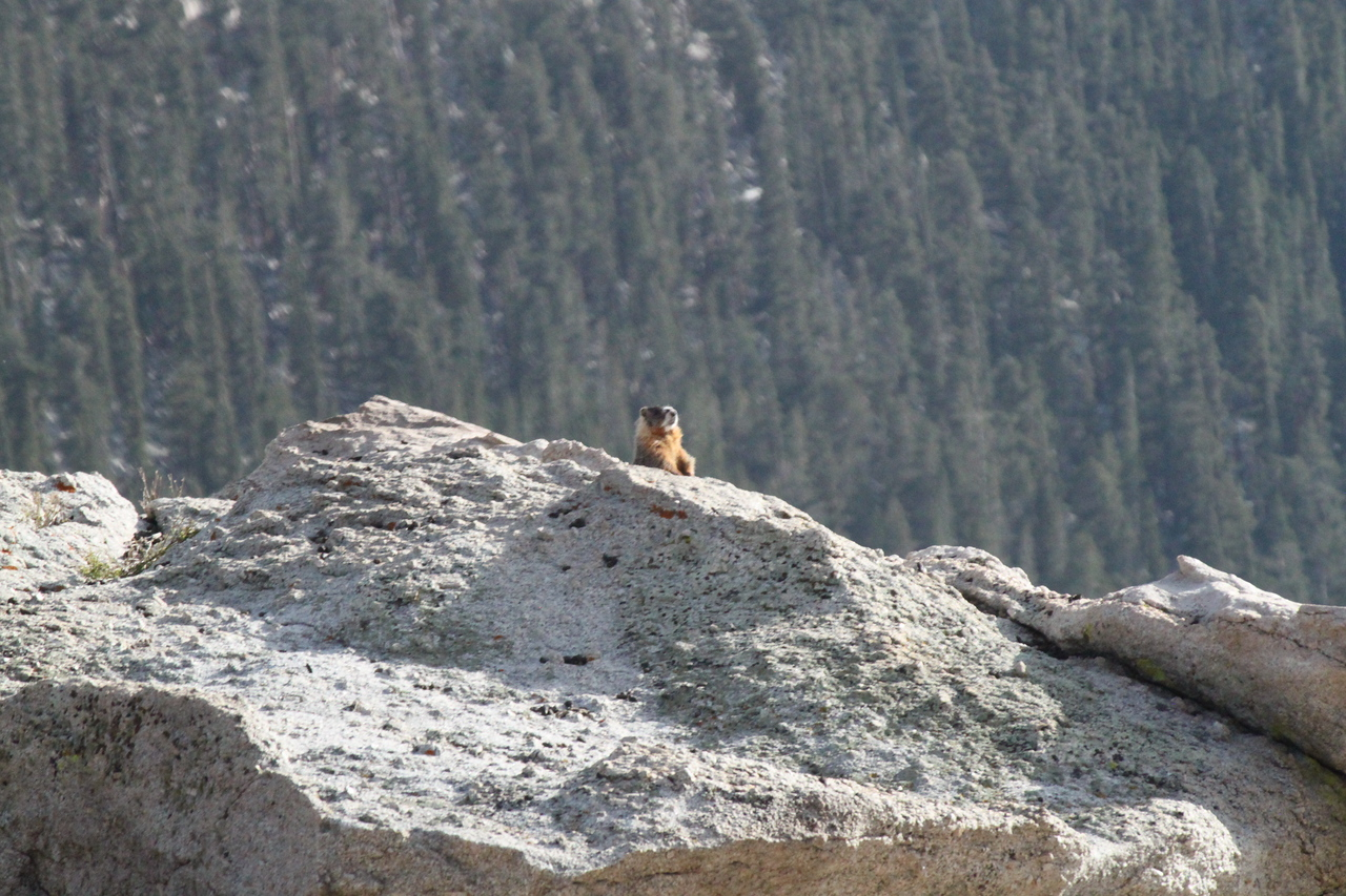 Another marmot on alert