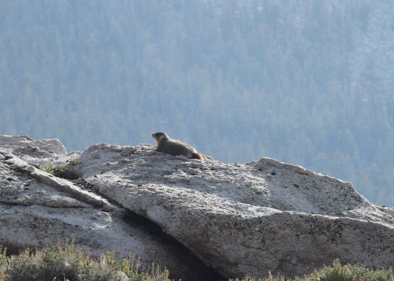 A marmot on alert