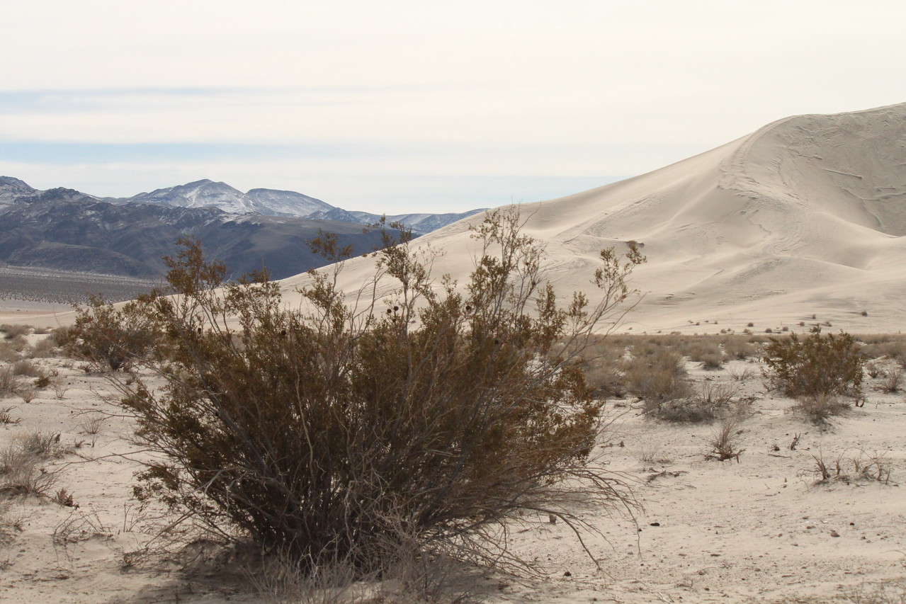 A creosote bush at the edge of Eureka Dunes.