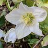 H. niger by wistaria, 2/10/20