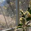 Varieg rubber plant, golden chimonanthus, 2/11/20