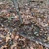 Original Helleborus thibetanus and offspring, 2/11/20
