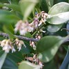 Sarcocca at SW corner of guest room