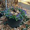 Golden Ilex v. and blue viola pot, south door, 2/11/20