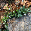 Snowdrops in Mama's bed, courtyard, 2/10/20