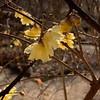 Golden Chimonanthus, S door 2/11/20