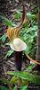 Arisaema sikkokianum ex Montrose, SE of library 4/21/19