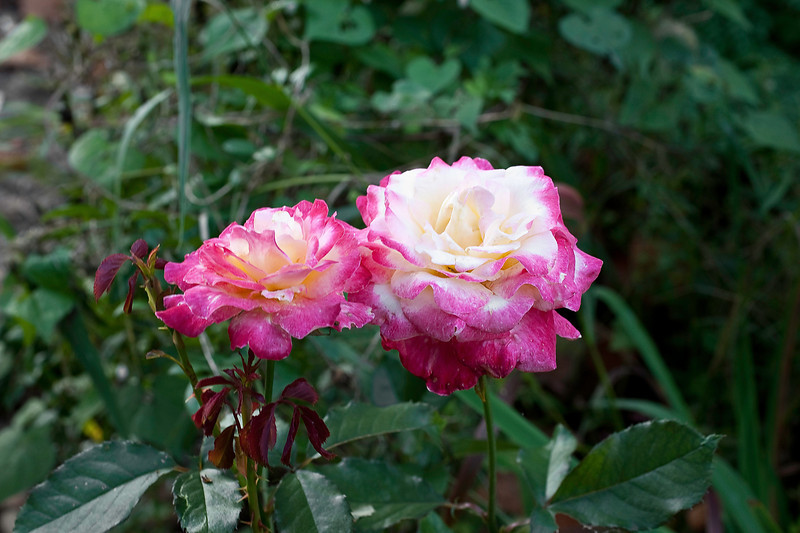 HT rose, may be Double Delight